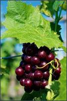Польза виноградного сока такая же, как и у яблочного.  Он содержит много витаминов и биологически активных элементов.